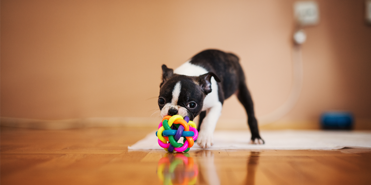 Boston Terrier who likes to play and chew